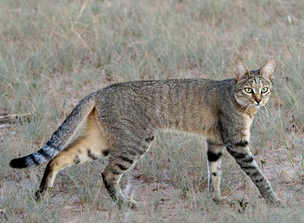 Picture of rare African safari wildcat walking through East Africa