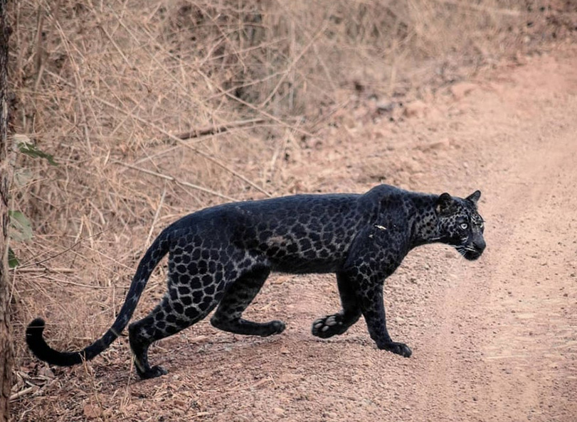 Rare African Safari Animal black leopard spotted in Kenya 2019