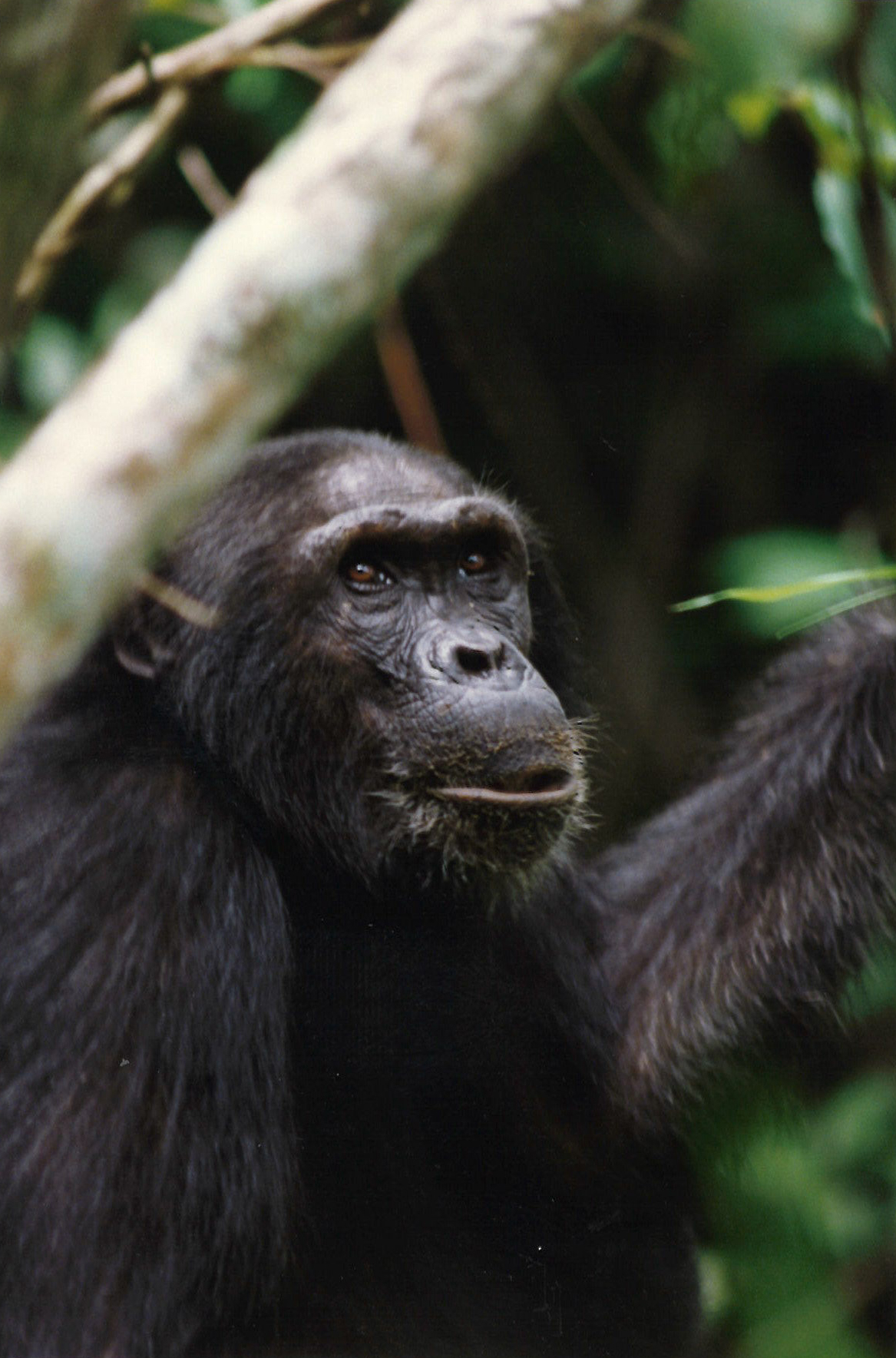 Chimp setting in the jungle looking up at the sky.