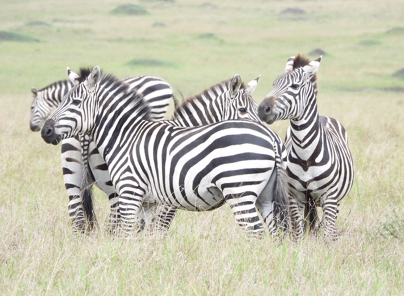 Zebras grazing a green field in Kenya.