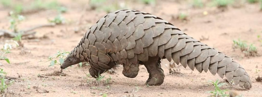 Wild and rare pangolin elusively roams the plains of Tanzania