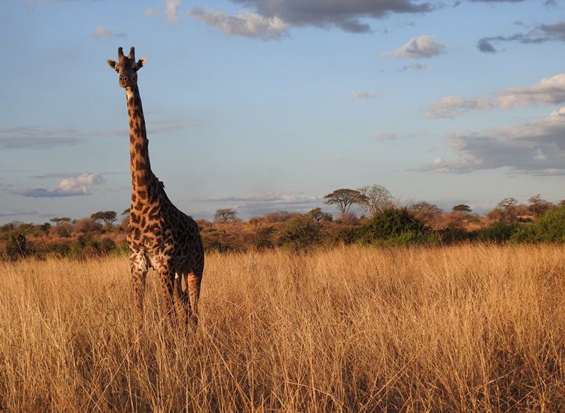Picture of giraffe on Tanzania safari