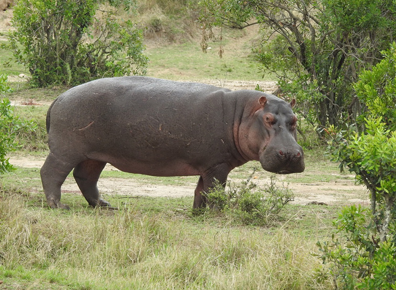 Picture of Tanzania Hippo possibly heading to the Hippo Pools
