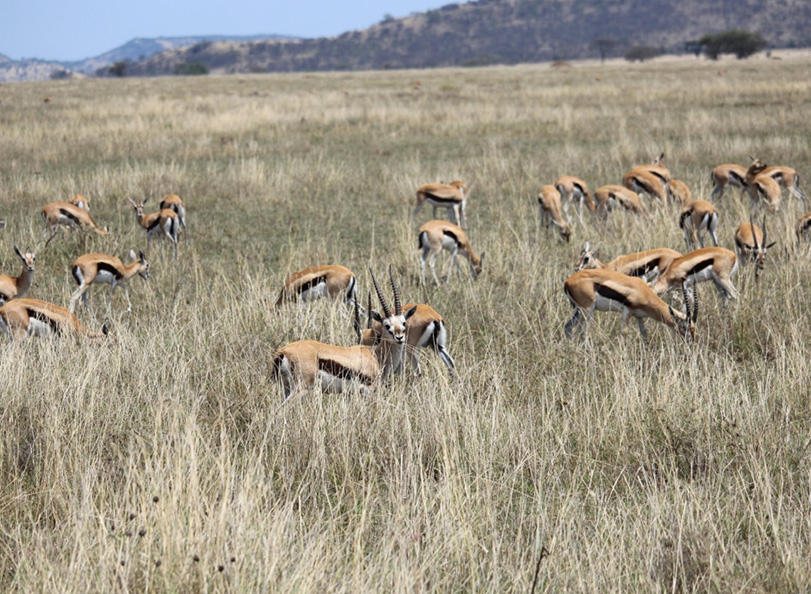 Herd of Tanzania impalas in Tarangire National Park