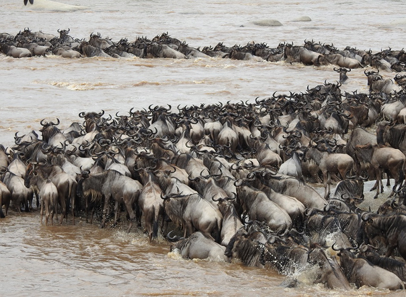 Wildebeest crossing the riverbank during a great migration into the Mara.