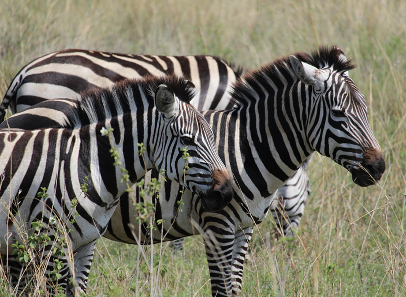 Picture of zebras in the tall grass plains of Tanzania safari