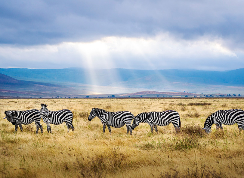 Picture of Zebras on Tanzania grasslands