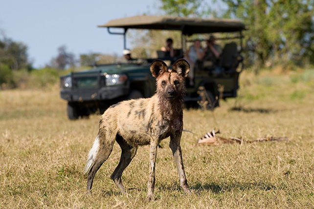 African wild dog poses curiously for a  rare safari tourist picture