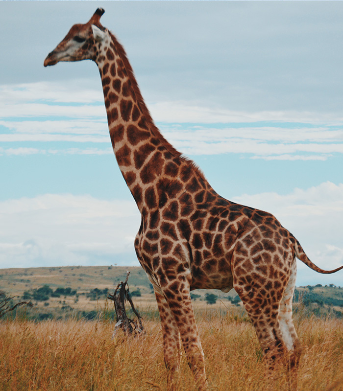 Giraffe in Ngorongoror crater