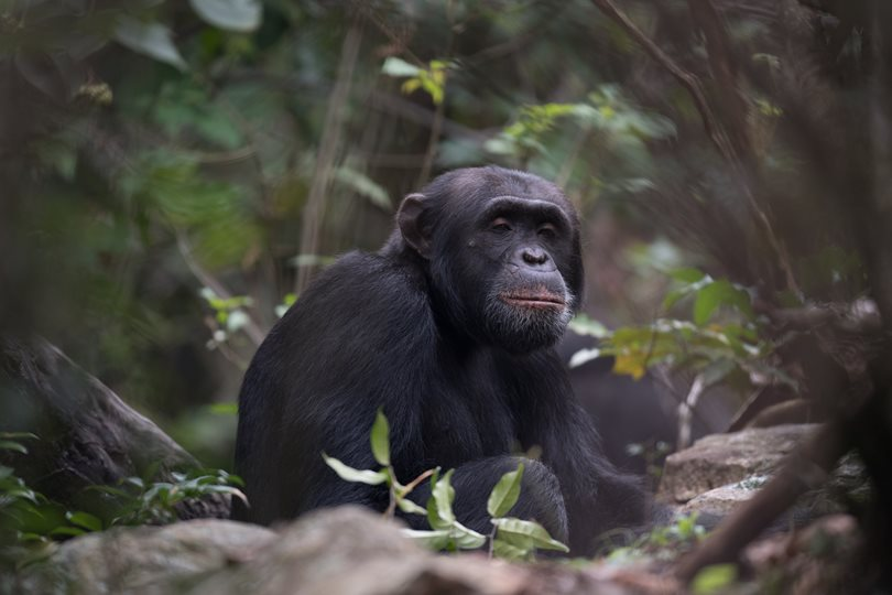 Alpha male chimpanzee