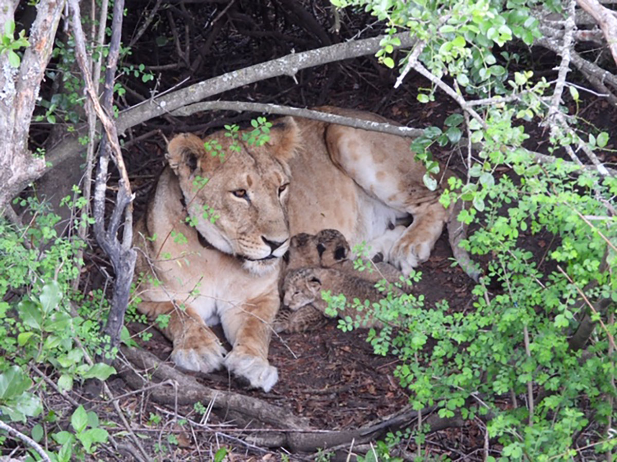 Lioness and her cubs in their thicket den within Maasai Mara National Reserve, Kenya
