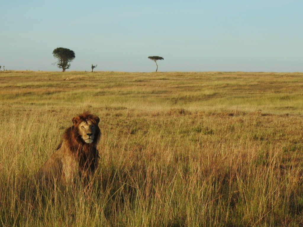 Lion roaming the plains in Ngorongoro Crater Tanzania