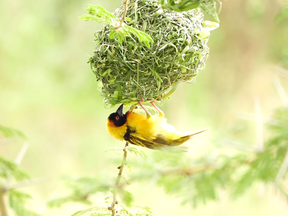 Weaver bird weaving its nest in the Maasai Mara National Reserve, Kenya
