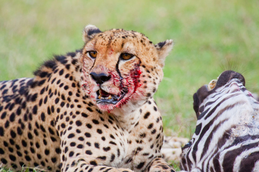 Wild Cheetah feasting on zebra prey during Wildebeest Migration Safari