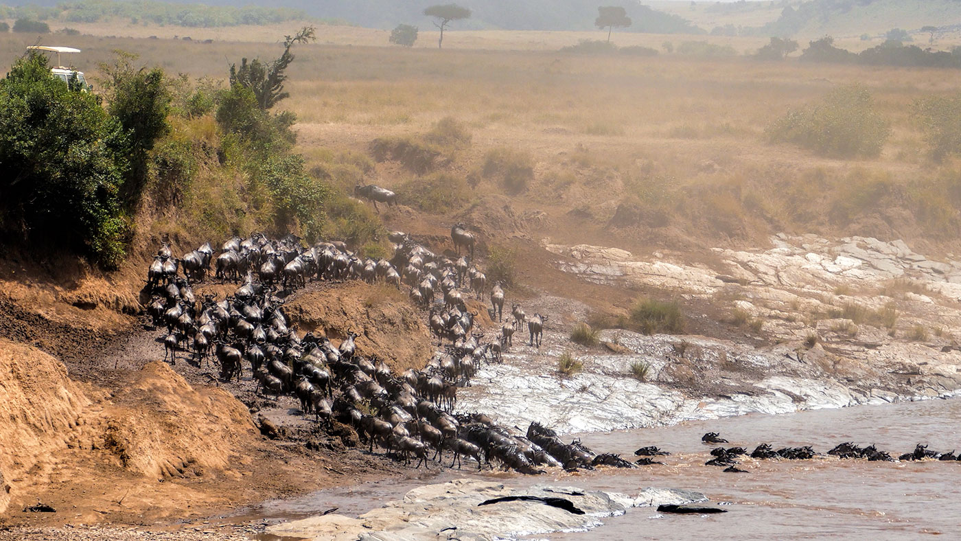 Wildebeest crossing the Mara River during the Great Wildebeest Migration