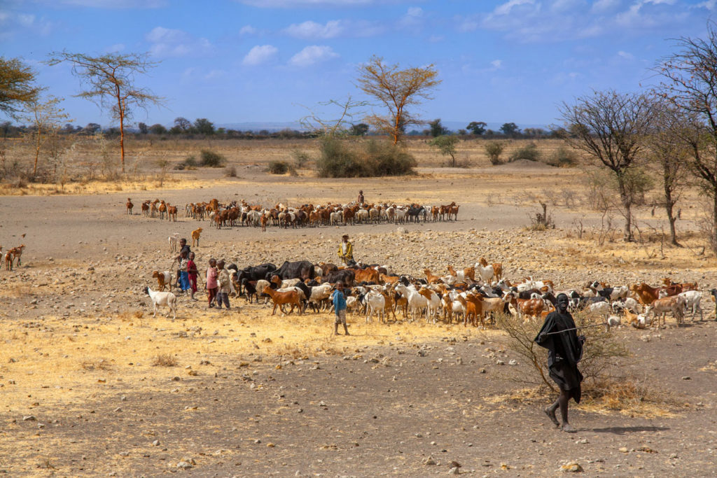 Cow cattle driven by Maasai children to drink water in Kenya