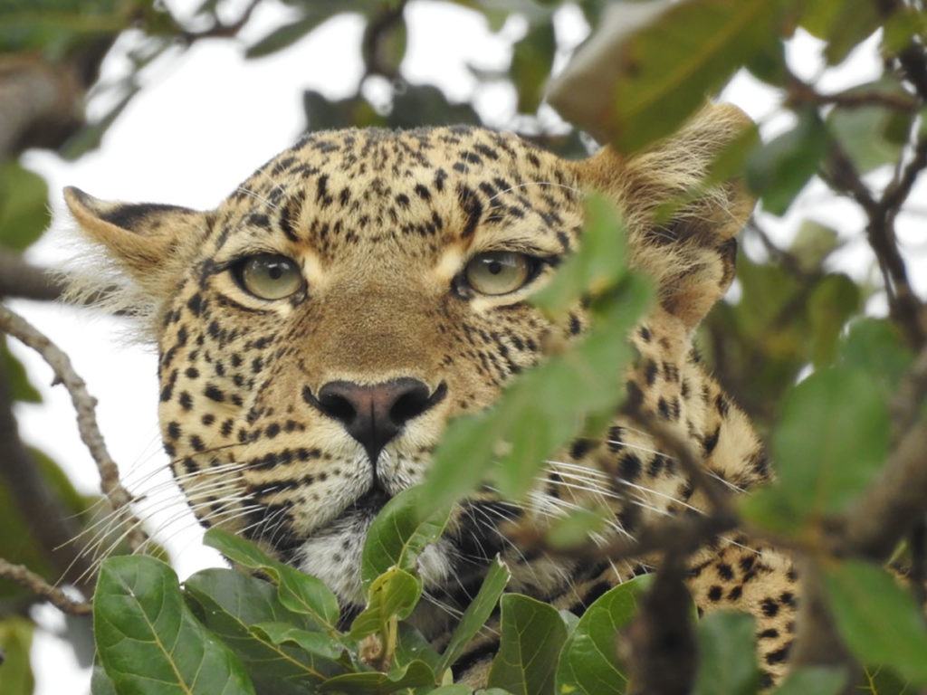 A leopard spying through the trees in Kenya