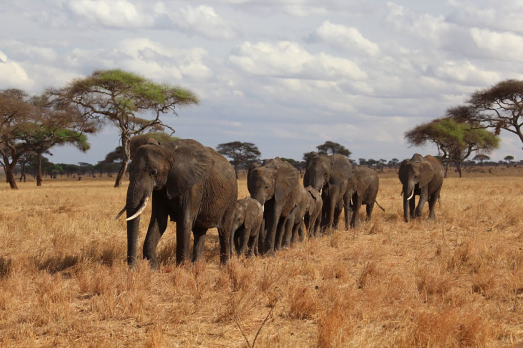 A line of elephants taking a leisurely stroll in Tanzania