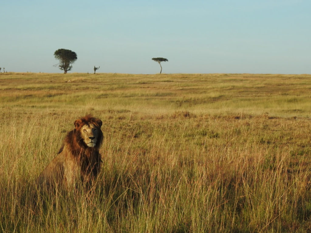 Beautiful lion caught on camera while on safari in Tanzania