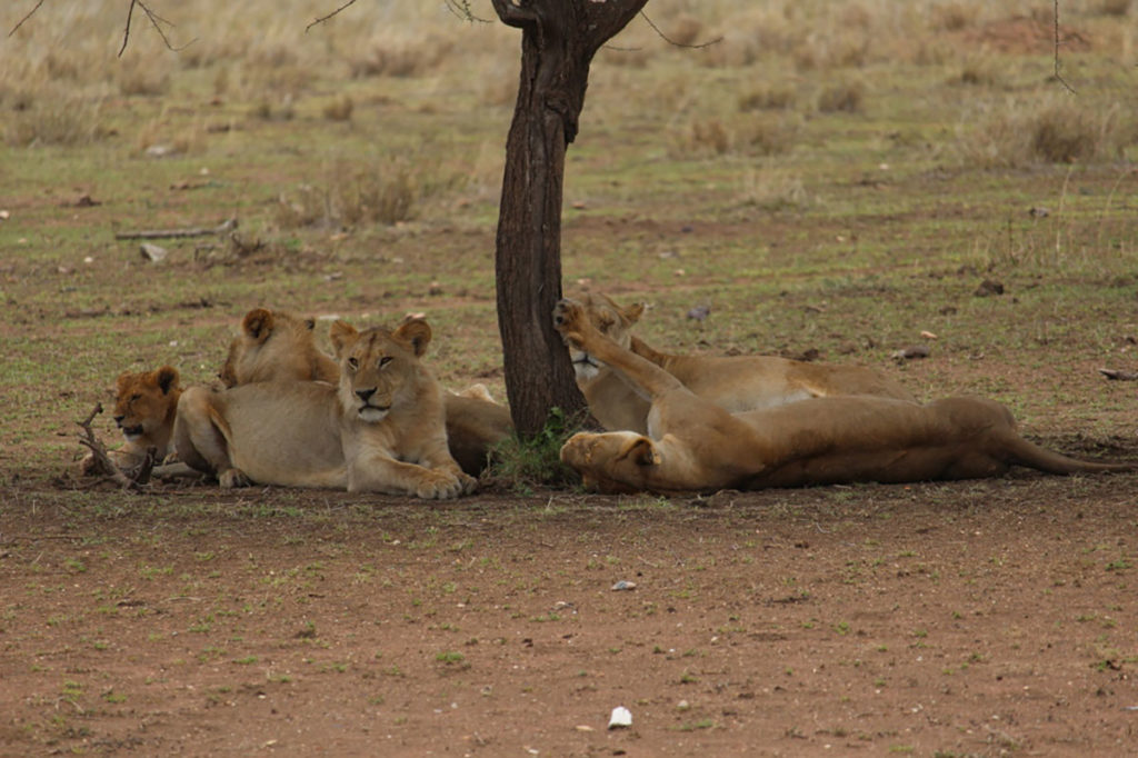Lions lying around in the Tanzania plains