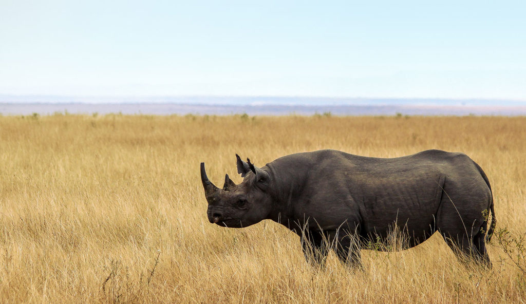 An extremely rare sighting of a black rhino in Kenya