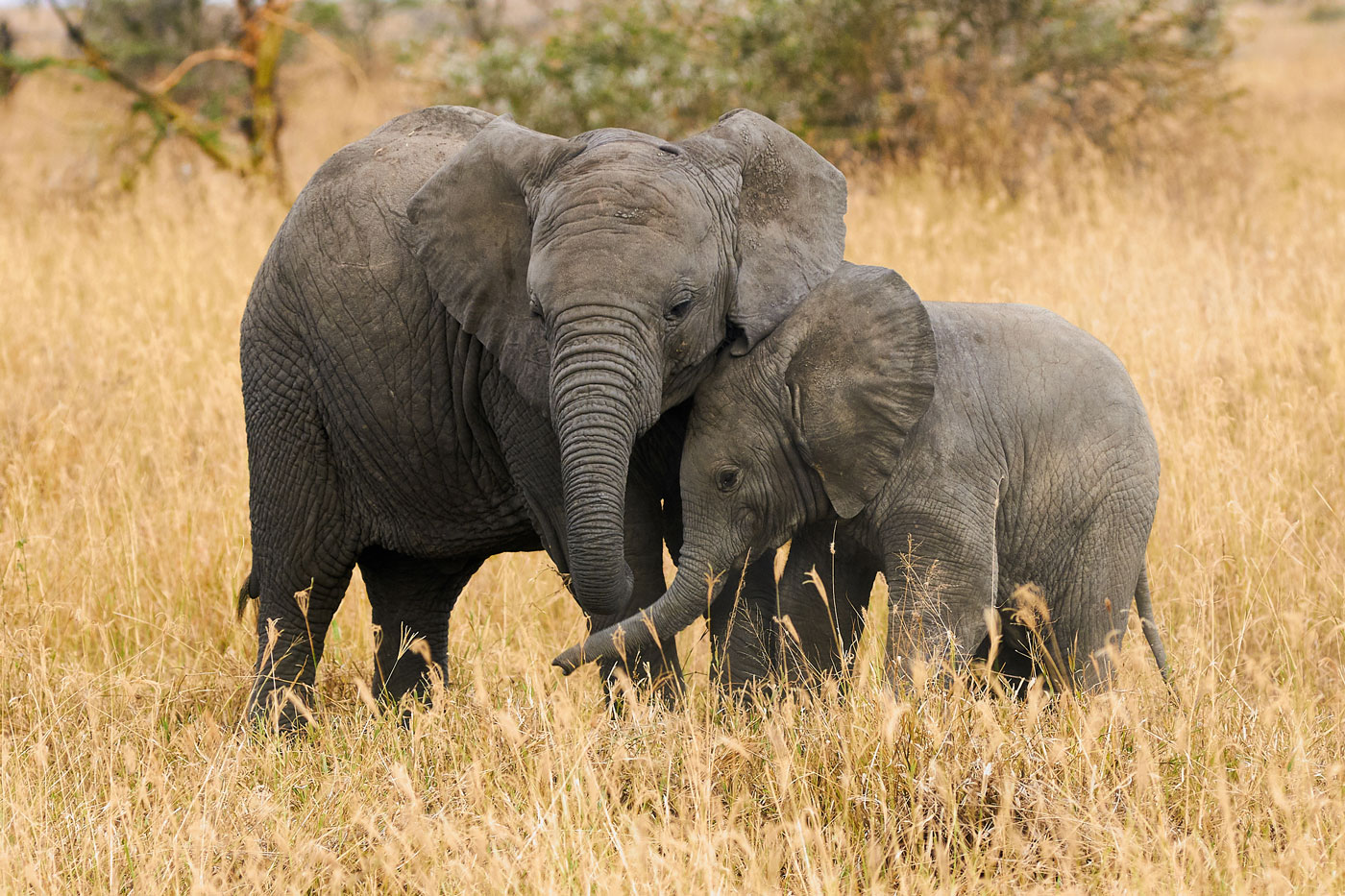 Two young brother elephants born without tusks in Tanzania