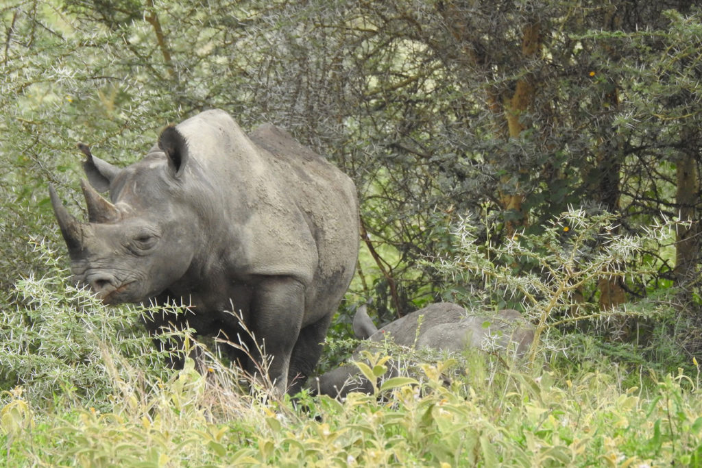 A rhino family caught in the bush while on Tanzania Safari