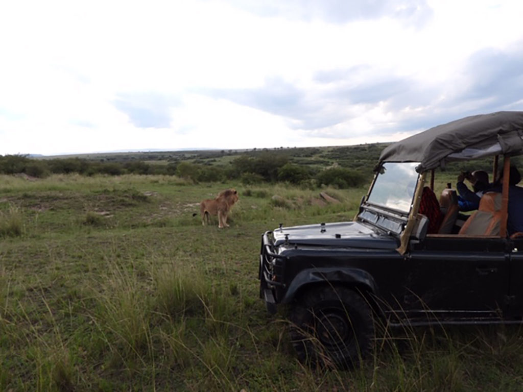 Safari jeep getting close to a wild lion in Kenya