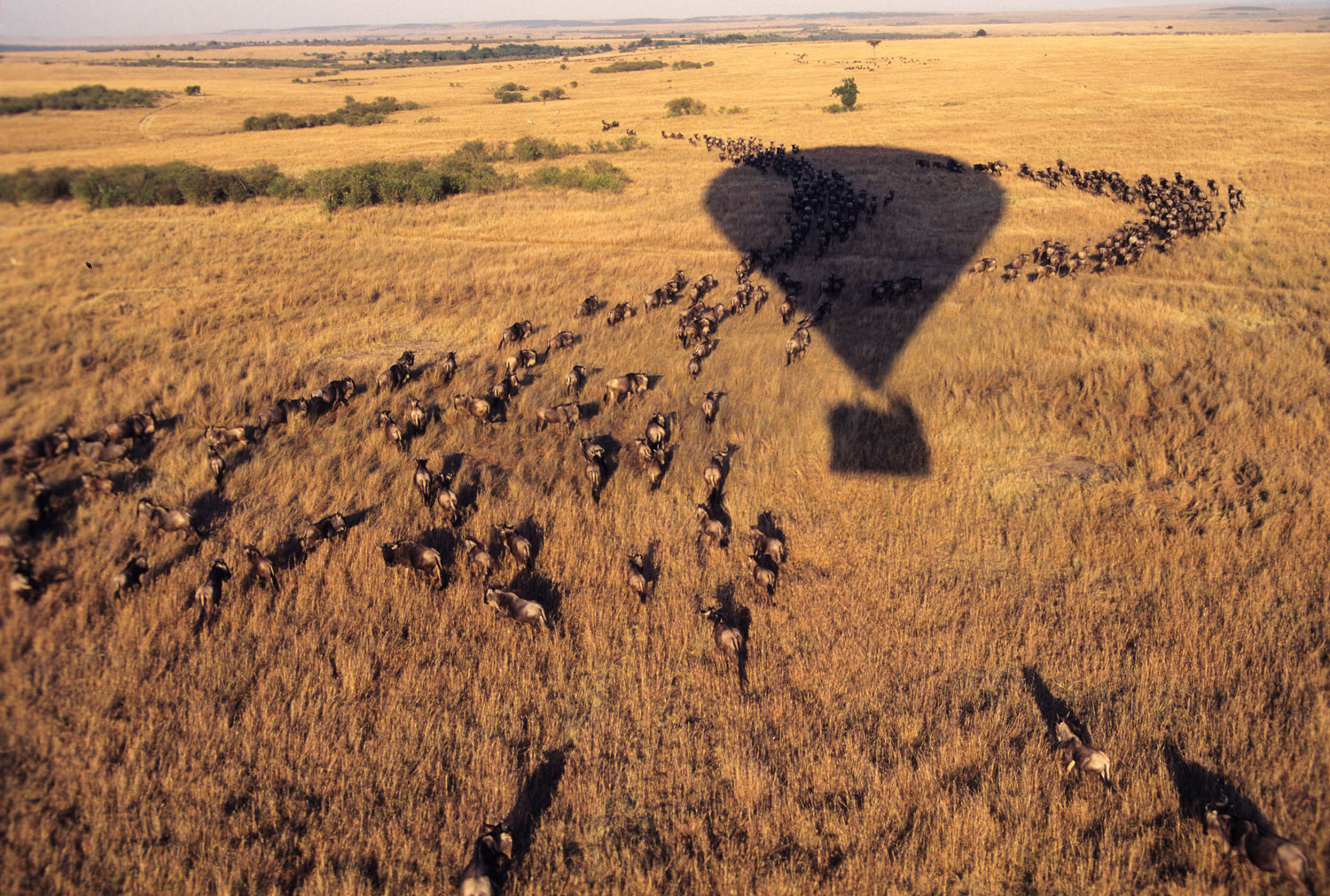 Aerial view of hot air balloon flying over a herd of wildebeests in the Maasai Mara, Kenya