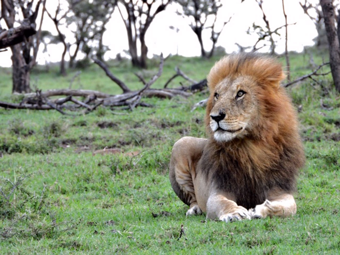 Beautiful lion found resting in the Kenya plains