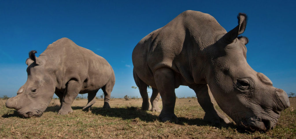 Rhinos at Ol Pejeta Conservancy