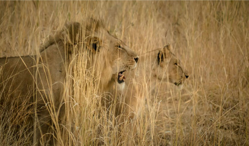 Lions at Ruaha National Park