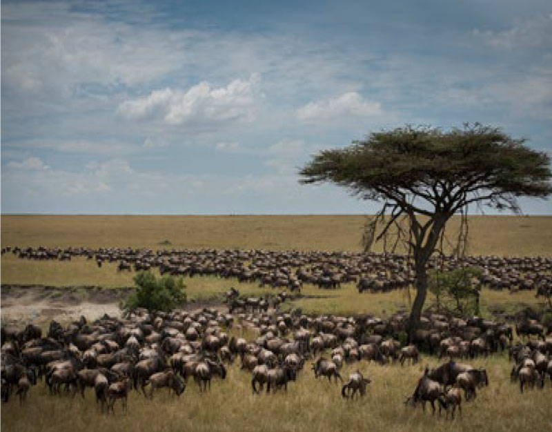 Serengeti Great Wildebeest Migration