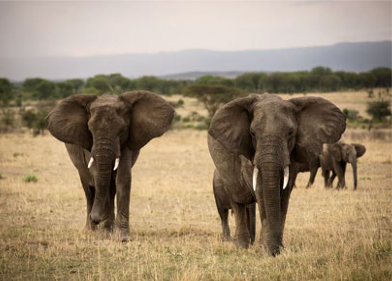 Elephant herd at Serengeti National Park
