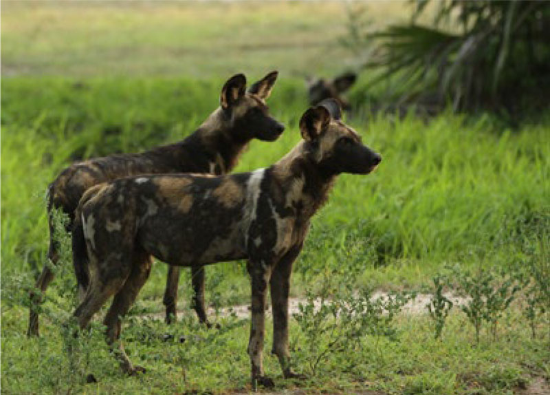 African wild dogs at Serengeti National Park