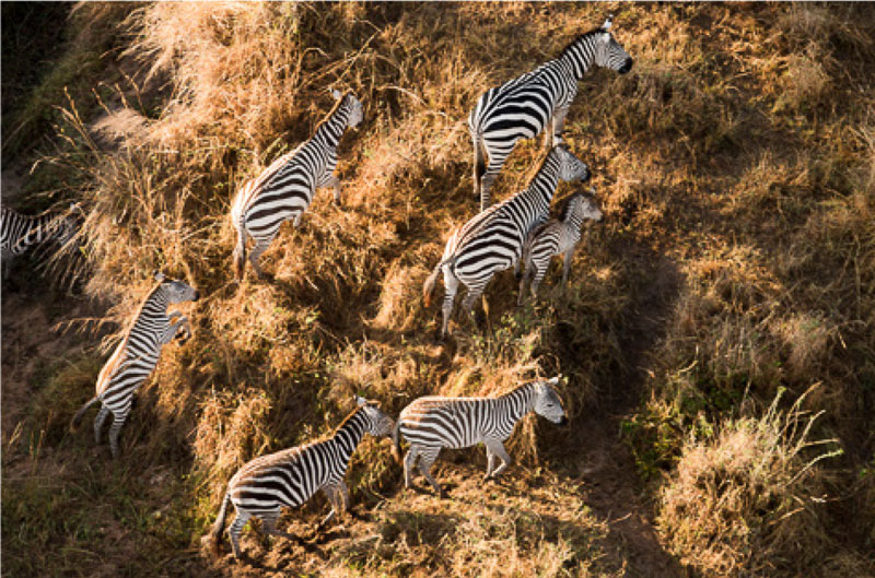 Zebras on the move at Serengeti National Park