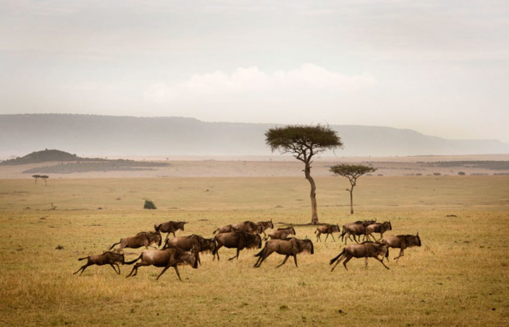 Herd of wildebeests on the plains