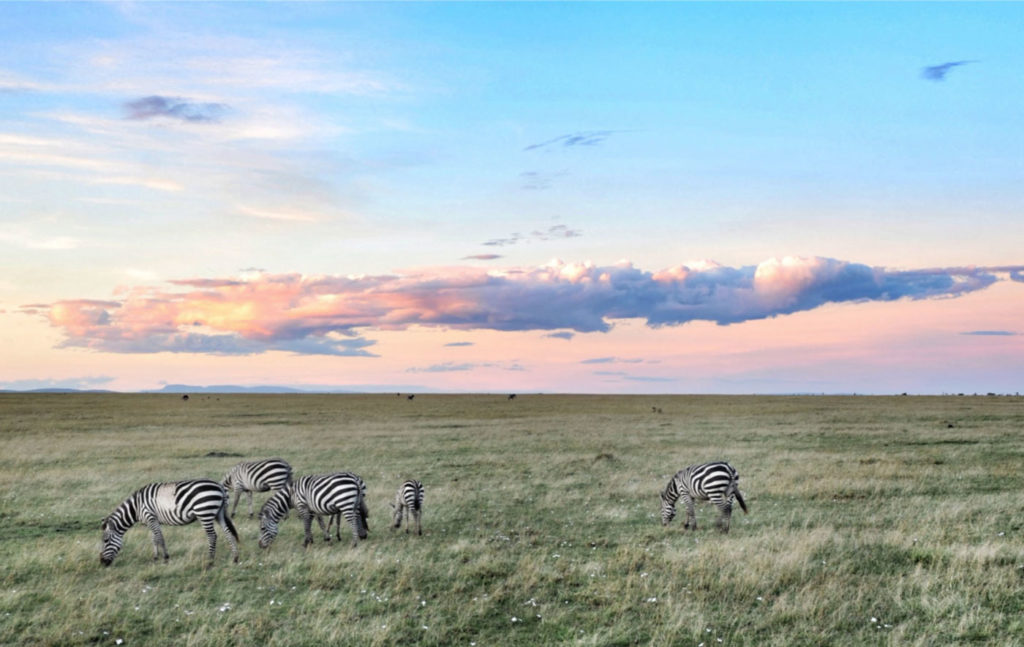 Zebra at the Masai Mara Naboisho Conservancy